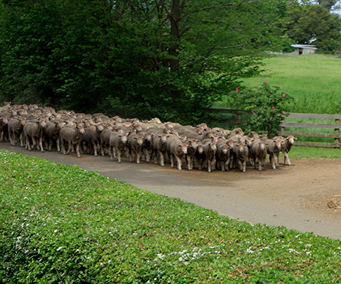 Driving Sheep at Panshanger. Photo: BrewBooks